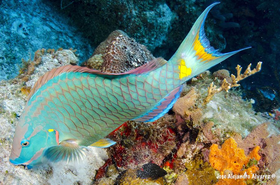 Hay esperanza: si dejamos de atrapar peces loro, podemos salvar los arrecifes del Caribe